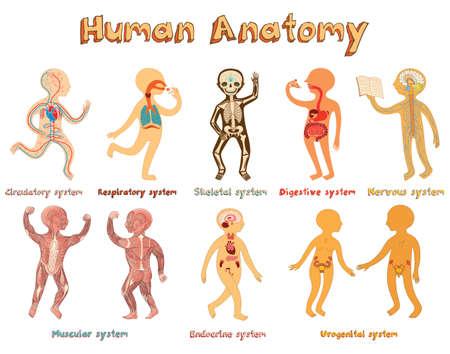 인체 해부학의 교육 일러스트 레이 션, 아이를위한 기관의 시스템. 기관 시스템의 제목 귀여운 벡터 만화 포스터입니다.