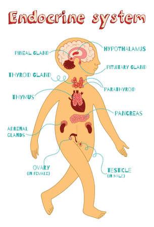 hipofisis: sistema endocrino humano para los niños. Vector ilustración de color de dibujos animados. esquema de la anatomía humana.