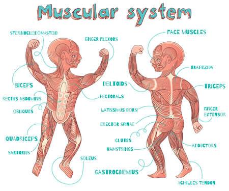 아이들을위한 인간의 근육 시스템. 벡터 컬러 만화 그림. 인간의 근육 방식.