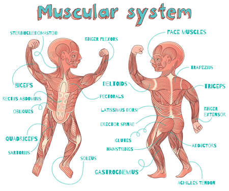 erector: Human muscular system for kids. Vector color cartoon illustration. Human muscles scheme.