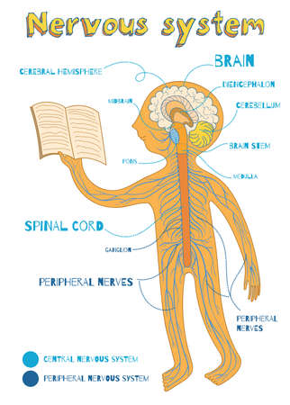 cns: Human nervous system for kids. Vector color cartoon illustration. Human central and peripheral nervous system anatomy scheme.