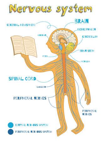 Menselijk zenuwstelsel voor kinderen. Vector cartoon kleur afbeelding. Human centrale en perifere zenuwstelsel anatomie regeling.