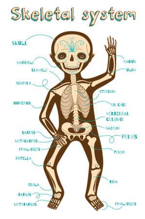 esquema: sistema esquelético humano para los niños. Vector ilustración de color de dibujos animados. esquema de esqueleto humano.