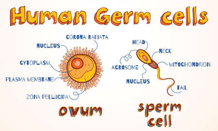 Structure of human gametes: ovum and sperm cell. Vector illustration for education