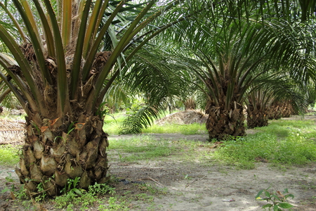palm oil: Palm Oil Tree