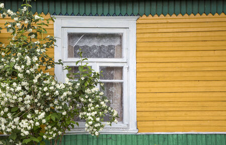 jasmine bush: jasmine bush large fragment of the old village window  jasmine bush  done manually