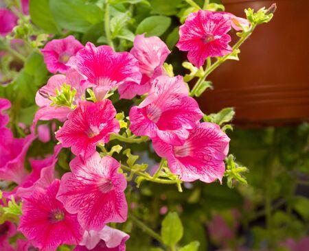 decorative pink mallow flower, closeup, flora Stock fotó