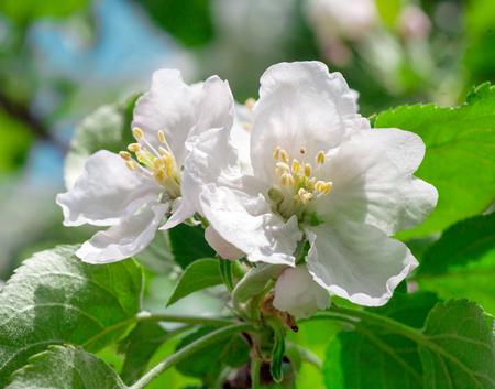flora: white flower of apple closeup photography flora Stock Photo