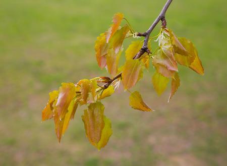 alder: closeup of green alder branches. spring, flora Stock Photo