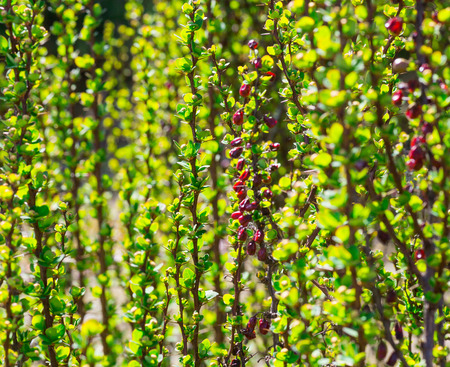 ornamental garden: green sprout barberry bush, ornamental garden plants. flora