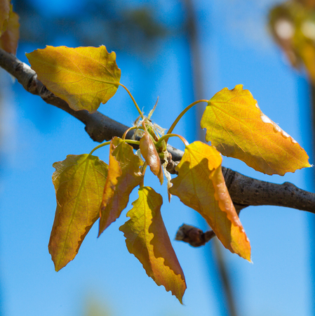 alder tree: alder tree, blossoming leaves against the blue sky. close Stock Photo