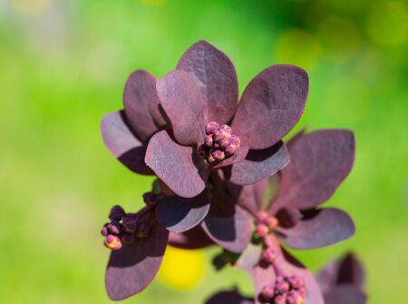 barbery: burgundy sprout bush barberry, ornamental garden plants. flora Stock Photo