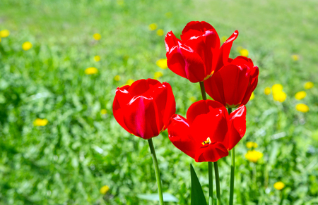 differing: many red tulips on the background of green grass. close. flora Stock Photo