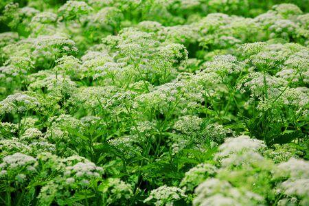 cicuta: plantas silvestres muchas de cerca. Glade. flora