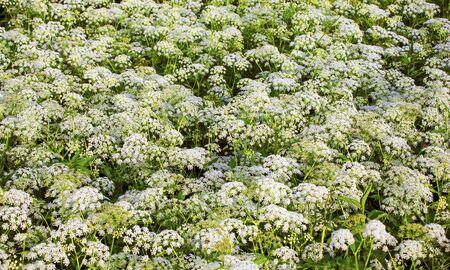 cicuta: plantas de flor salvaje mucho. Hemlock. Glade. flora