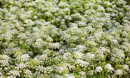 hemlock: plantas de flor salvaje mucho. Hemlock. Glade. flora