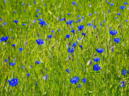 flora: nature. Field and blue cornflowers summer day. flora Stock Photo