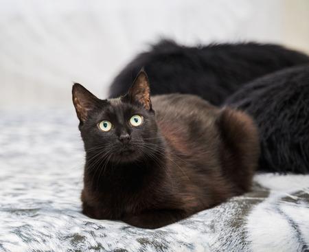 zoogdier: zwarte binnenlandse kat, zittend op een bed. dichtbij. dier, zoogdier Stockfoto