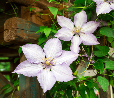 clematis: decorative curly clematis flowers.  Stock Photo