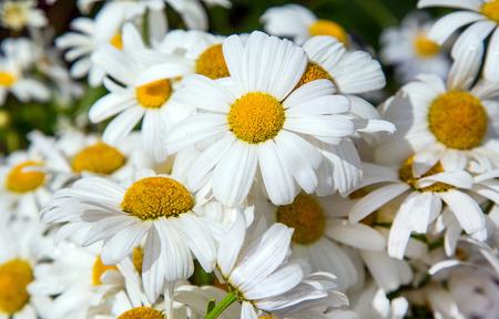 p�querette: marguerite blanche. bouquet. D�coratif fleur de jardin. macro. flore