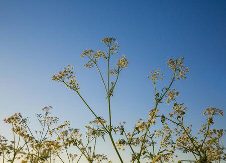 hemlock: Hemlock. flower. wild plants against the blue sky, a lot. Flora. background Stock Photo