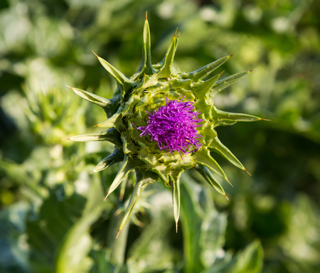 medicinal plant: Pink milk thistle flower in bloom in the spring, medicinal plant, macro Stock Photo