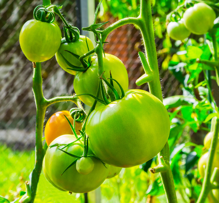 produits alimentaires: Young green tomatoes growing on the branch, close-up, selective, soft focus