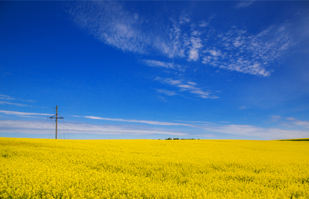 Field of yellow rapeseed seeds against a blue sky background. Spring. Agriculture