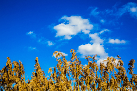Dry inflorescence of leaves and stems of reeds against the blue sky. Phragmites australis, Refers to cereals