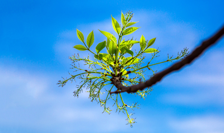 Young green leaves on branches in the spring against a blue sky background Stock Photo