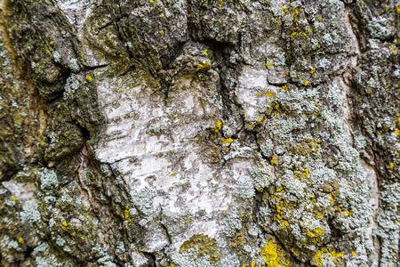 Closeup texture of the birch bark of birch tree. Natural background. Natural Birch bark Background
