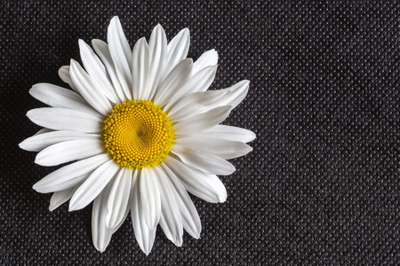 close-up of a daisy flower on a black background. macro. background, texture Stock Photo