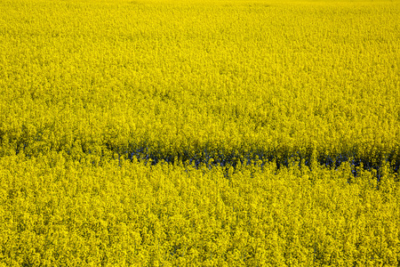 Yellow rapeseed flowers bloom against blue sky. Spring. Agriculture, selective approach
