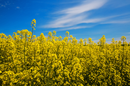 Closeup of yellow rape flowers against the blue sky. Spring. Agriculture, selective approach