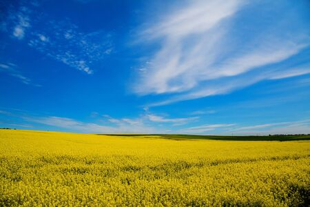 A field of yellow flowers of rape against the blue sky. Spring. Agriculture, selective approach