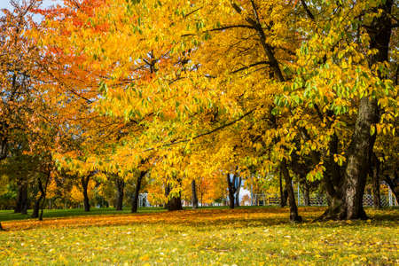City autumn landscape of trees with beautiful yellow leaves. City Park. Loschitsky Park, Old Manor, Minsk, Belarus, golden autumn