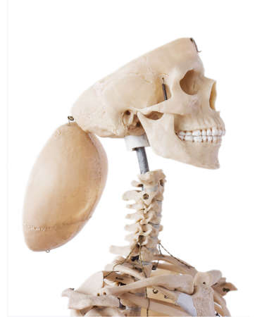 Skeleton with open cranium photo