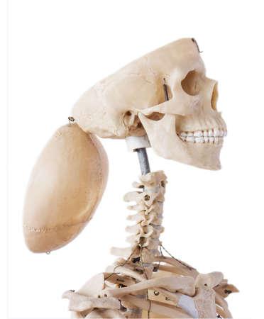 thinking outside the box: Skeleton with open cranium Stock Photo