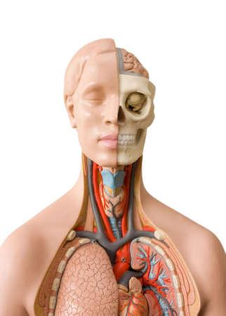 anatomie mens: Menselijke anatomie dummy Stockfoto