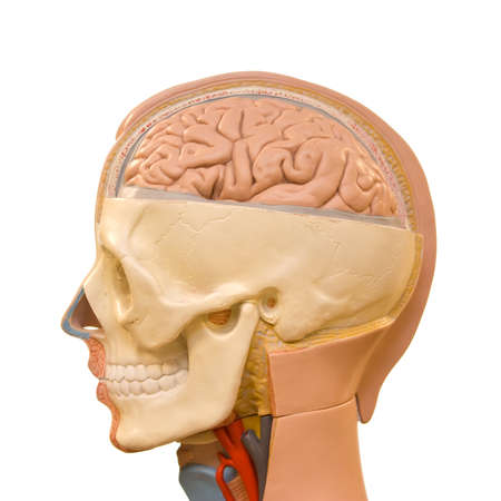 Human brain anatomy photo
