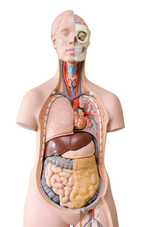 Human anatomy mannequin photo