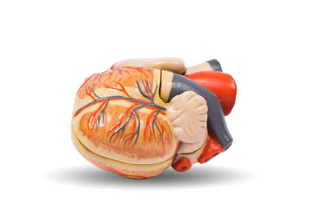 Human heart anatomy model, medical visual aid photo