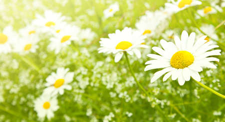 field of daisies: White daisy flowers