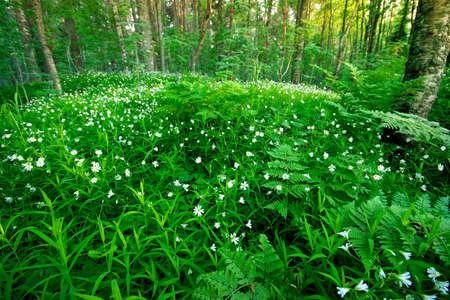 brake fern: Forest flowers