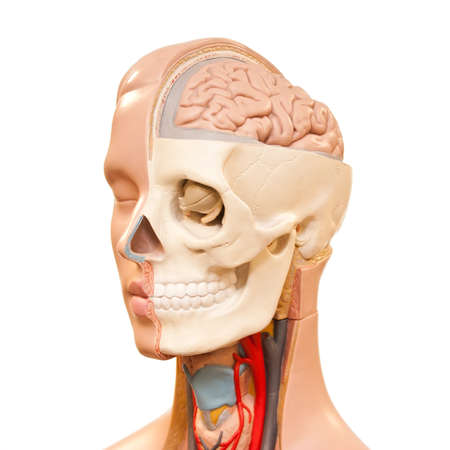 dissection: Human head anatomy picture