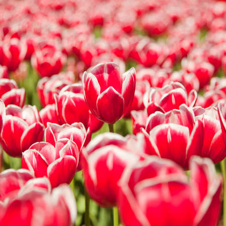 Red tulips field, focus on a central flower Stock Photo - 15167871