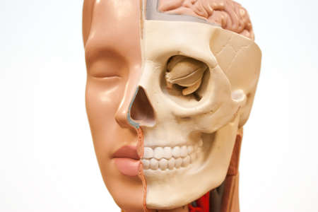 eye socket: Face of medical dummy