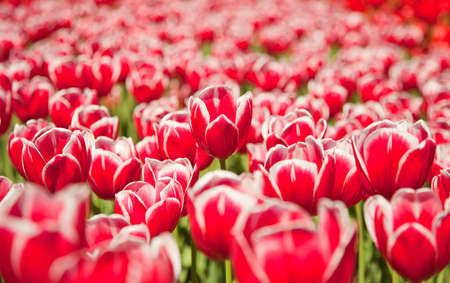 Field of tulips, natural wallpaper  Selective focus on a central flower Stock Photo - 15776692