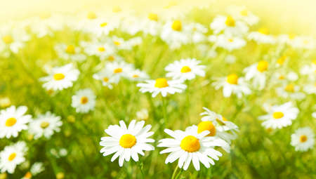 Field of daisy flowers, selective focus photo