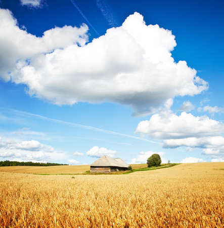 grain fields: Summer rural landscape